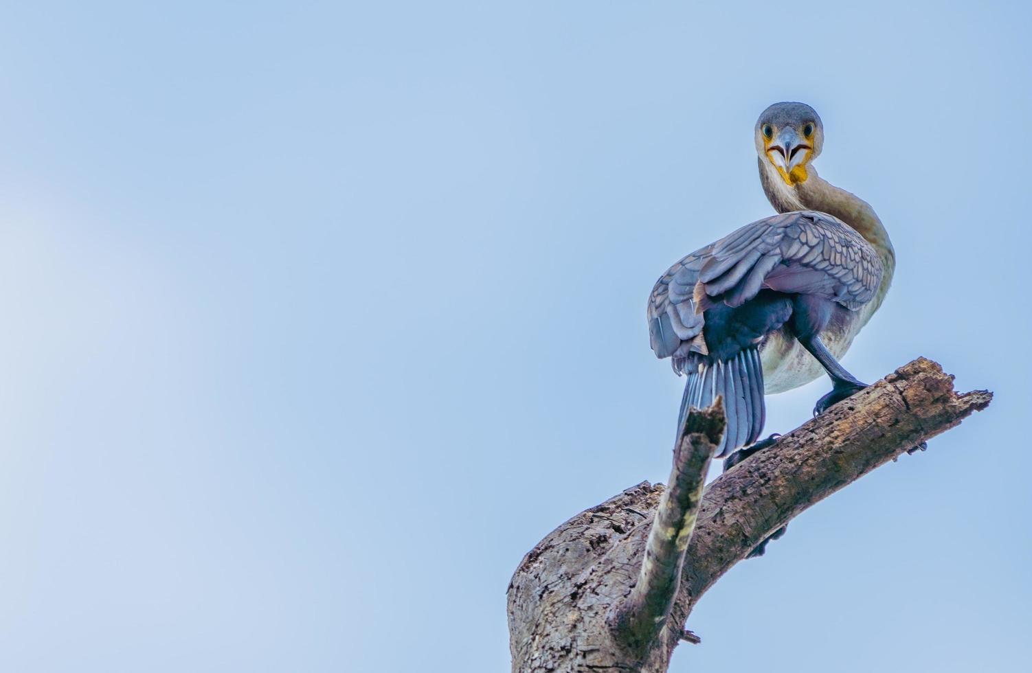 blauer Kormoran thront auf einem Ast foto