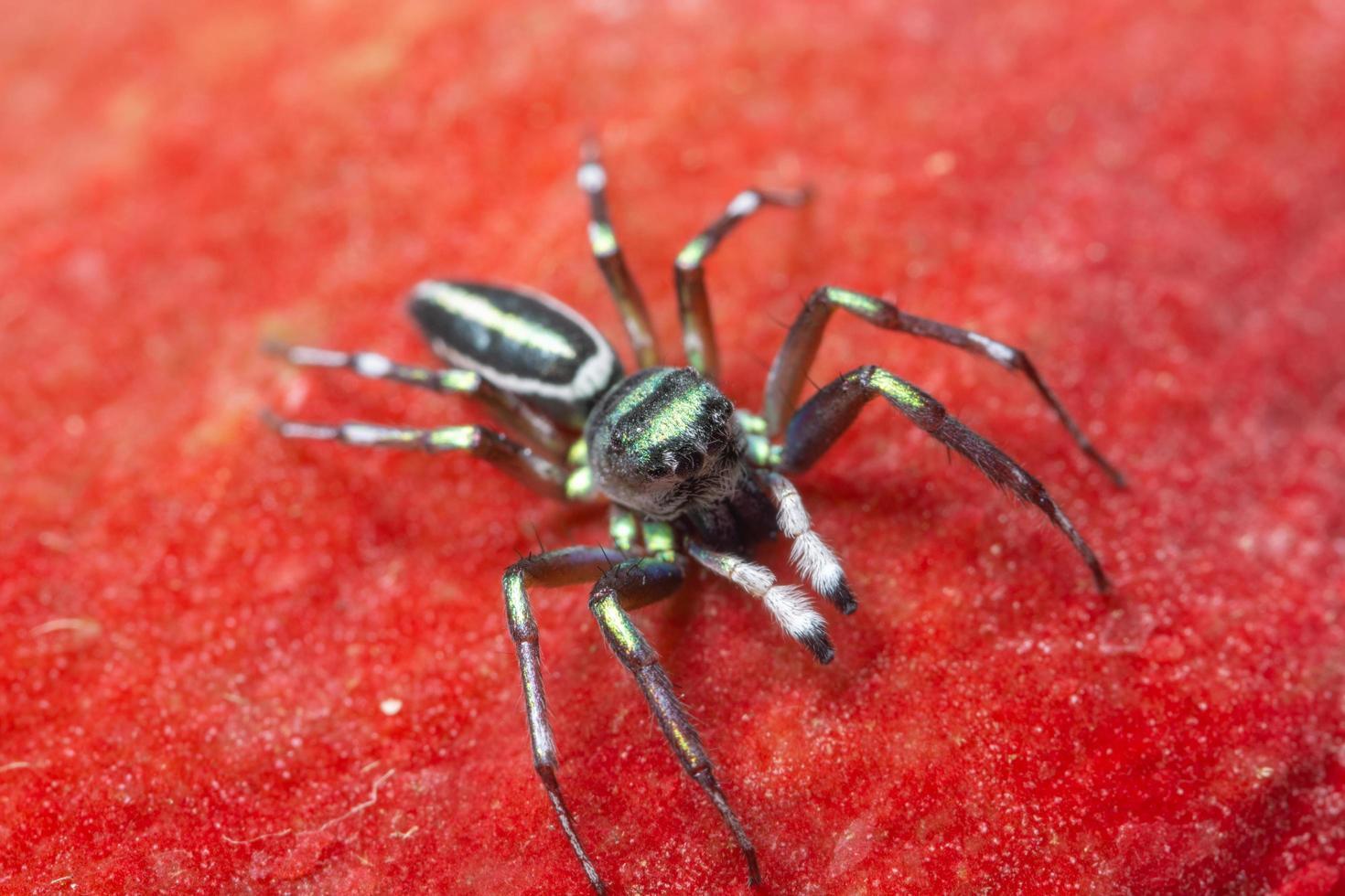 Spinne auf rotem Hintergrund foto