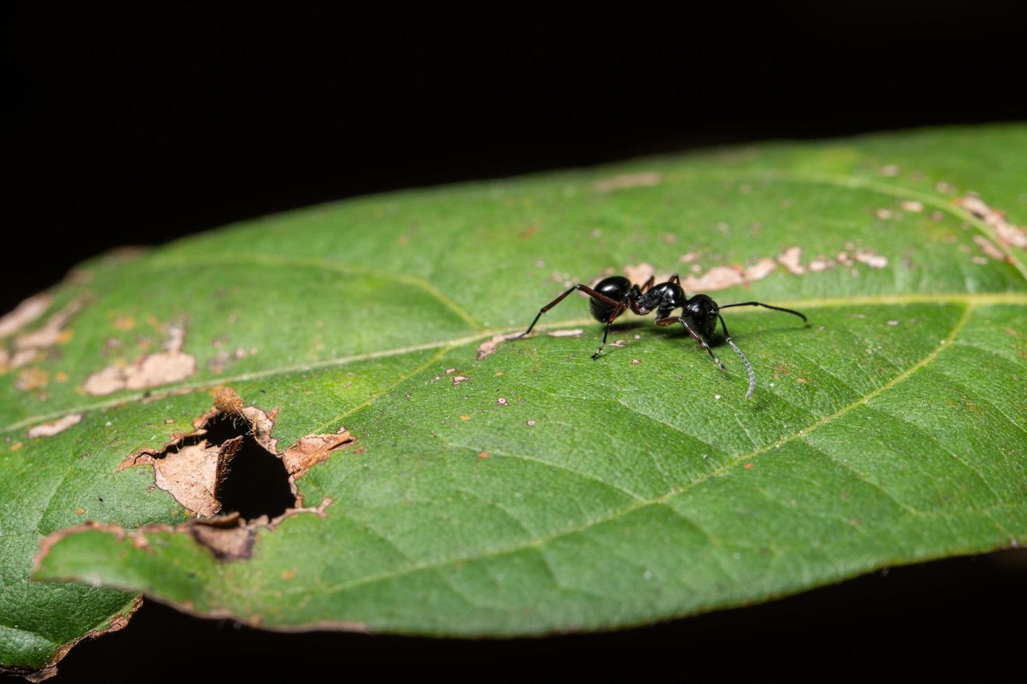 schwarze Ameise auf einem Blatt foto