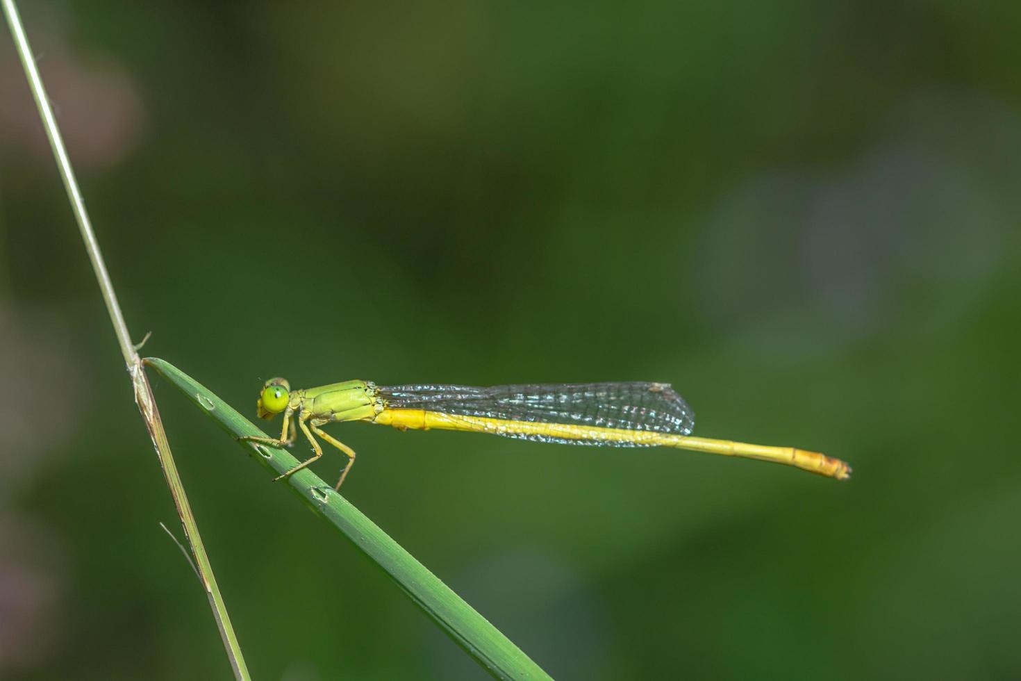 Zygoptera an einer Pflanze foto