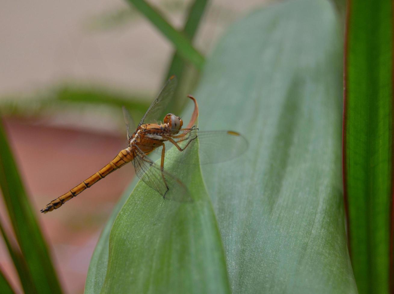 Libelle thront auf einem Blatt foto