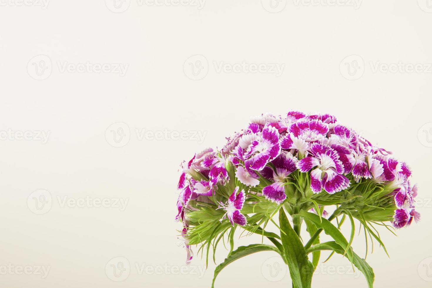 lila Nelken auf weißem Hintergrund foto