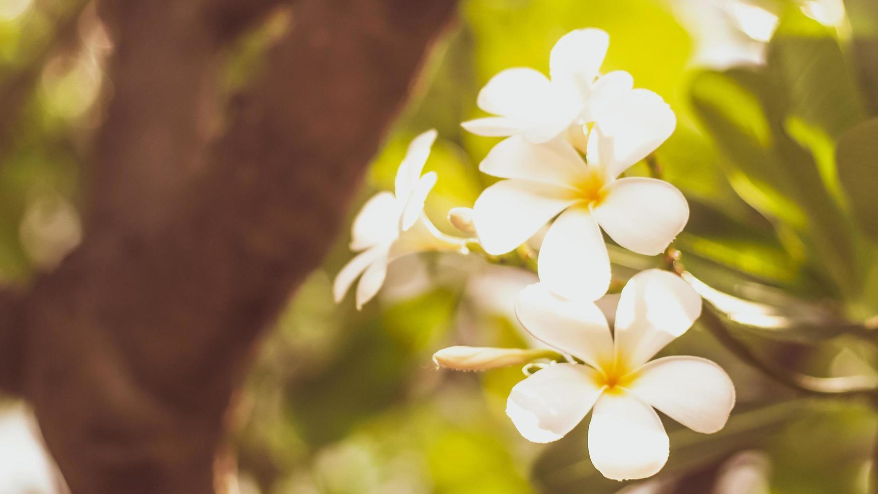 weiße Frangipani-Blüten foto