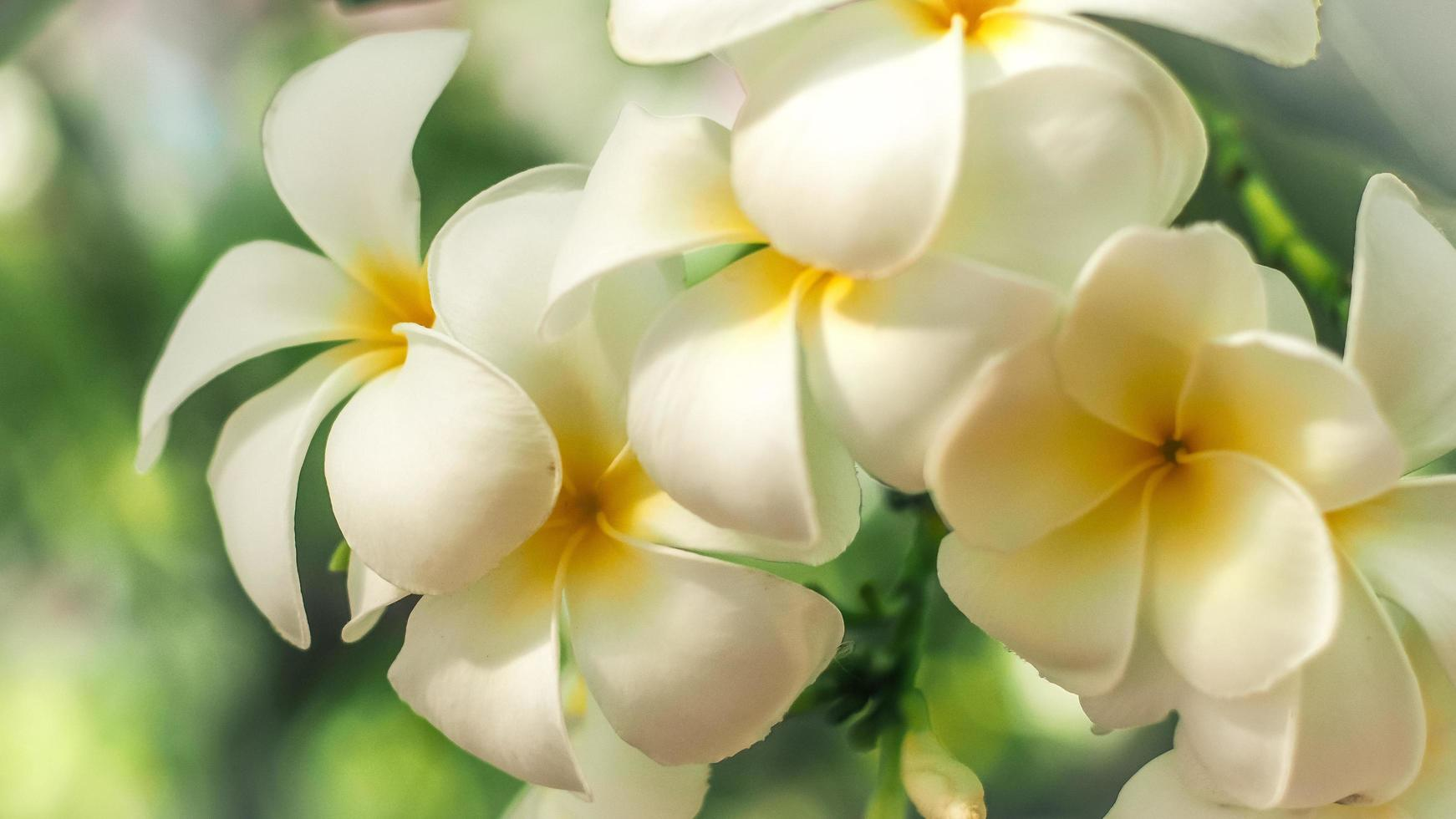 Nahaufnahme von Plumeria-Blüten foto