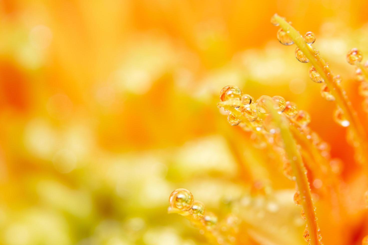 Wassertropfen auf orange Blütenblättern, Nahaufnahme foto