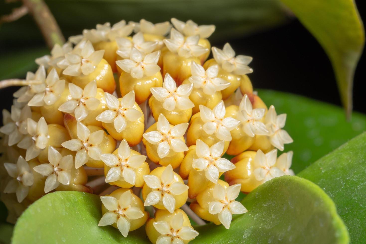 gelbe Hoya-Blumen-Nahaufnahme foto