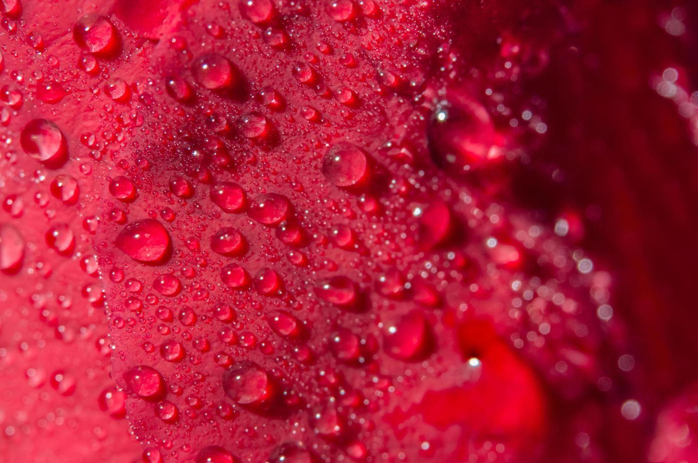 Wassertropfen auf eine rote Rose foto