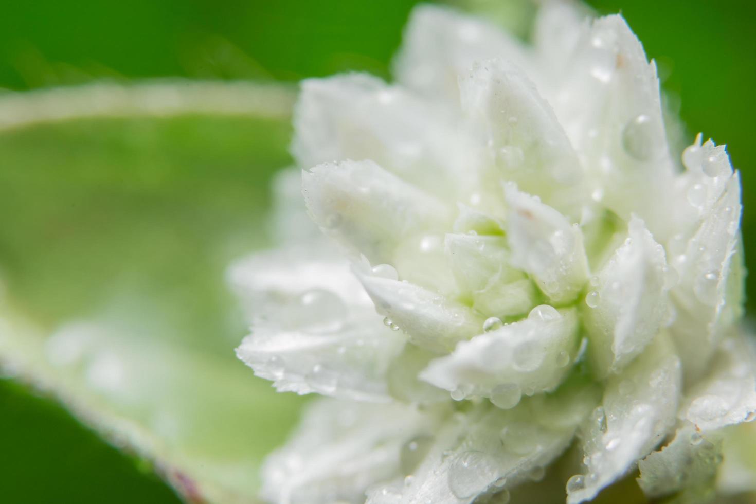 weiße wilde Blume foto