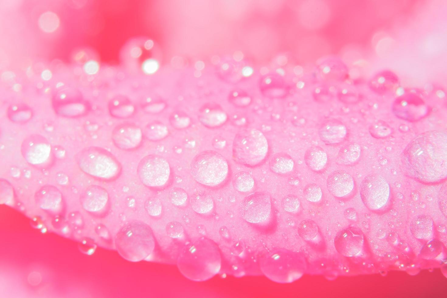 Wassertropfen auf Rosenblättern foto