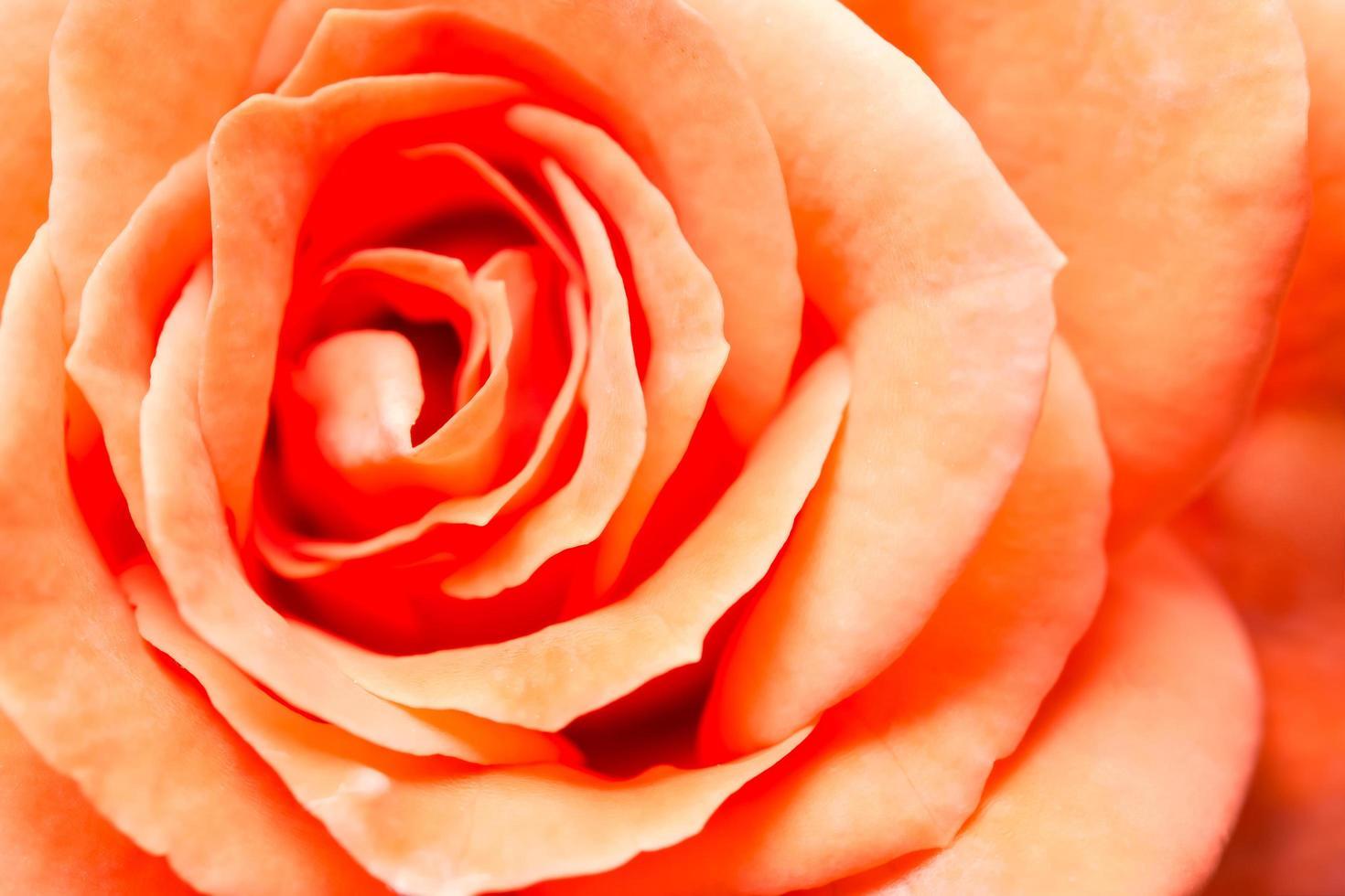 orange Rose Hintergrund foto