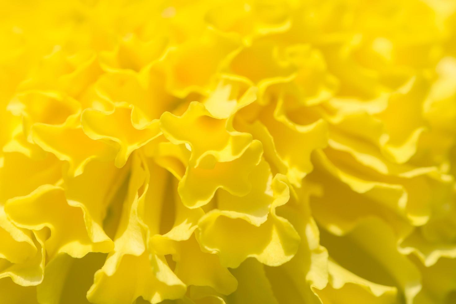 gelber Ringelblumenblumenhintergrund foto