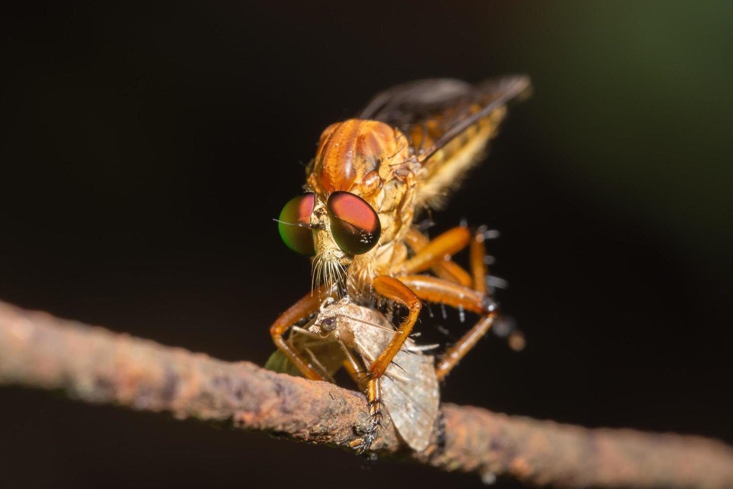 Räuber fliegen Nahaufnahme foto