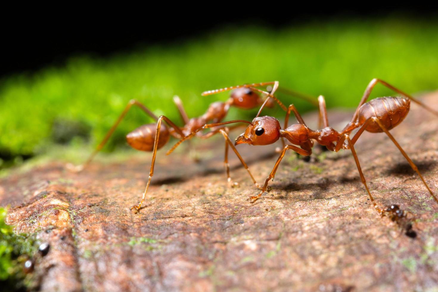 Ameisen, Nahaufnahmefoto foto