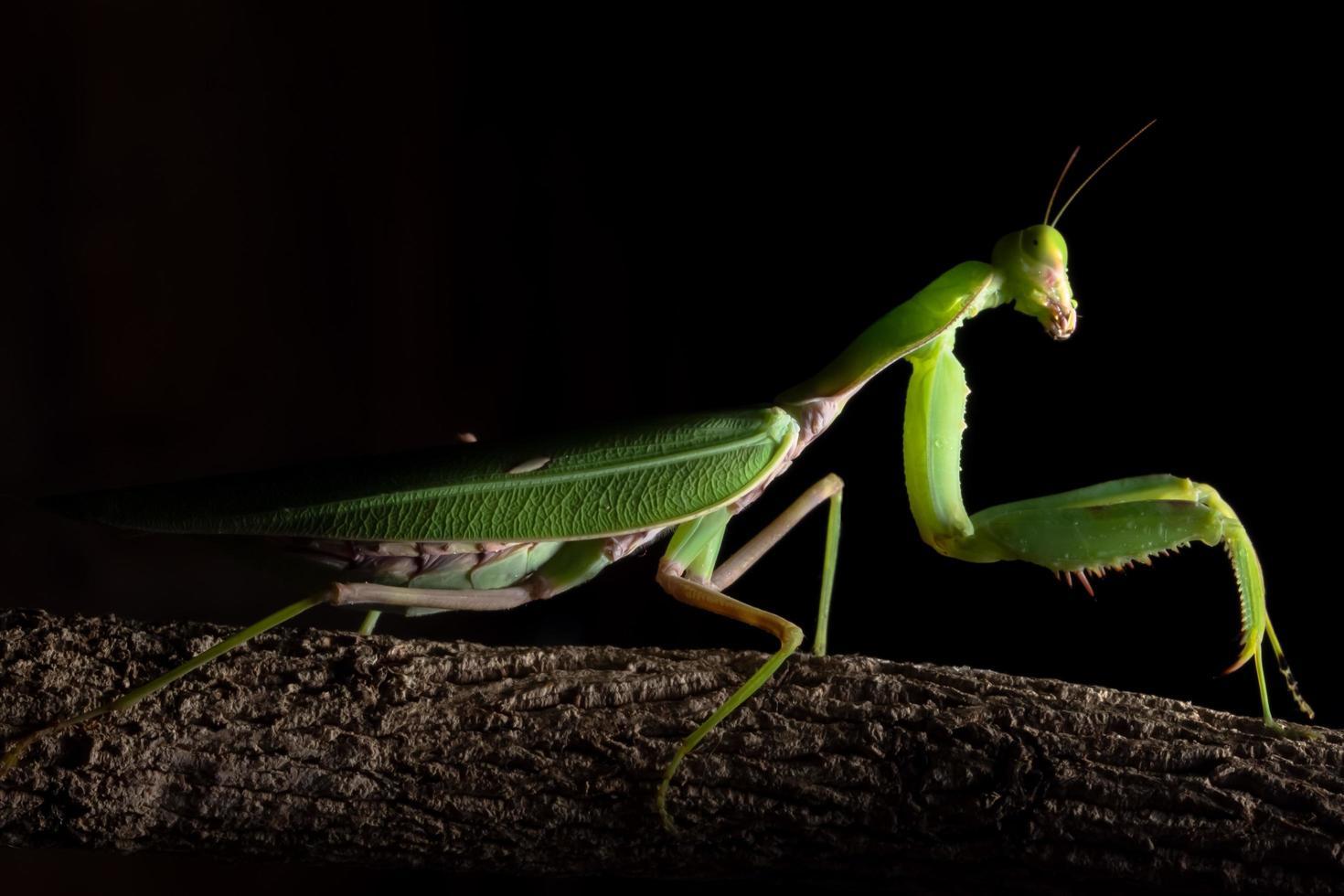 grüne Gottesanbeterin auf einem Ast foto
