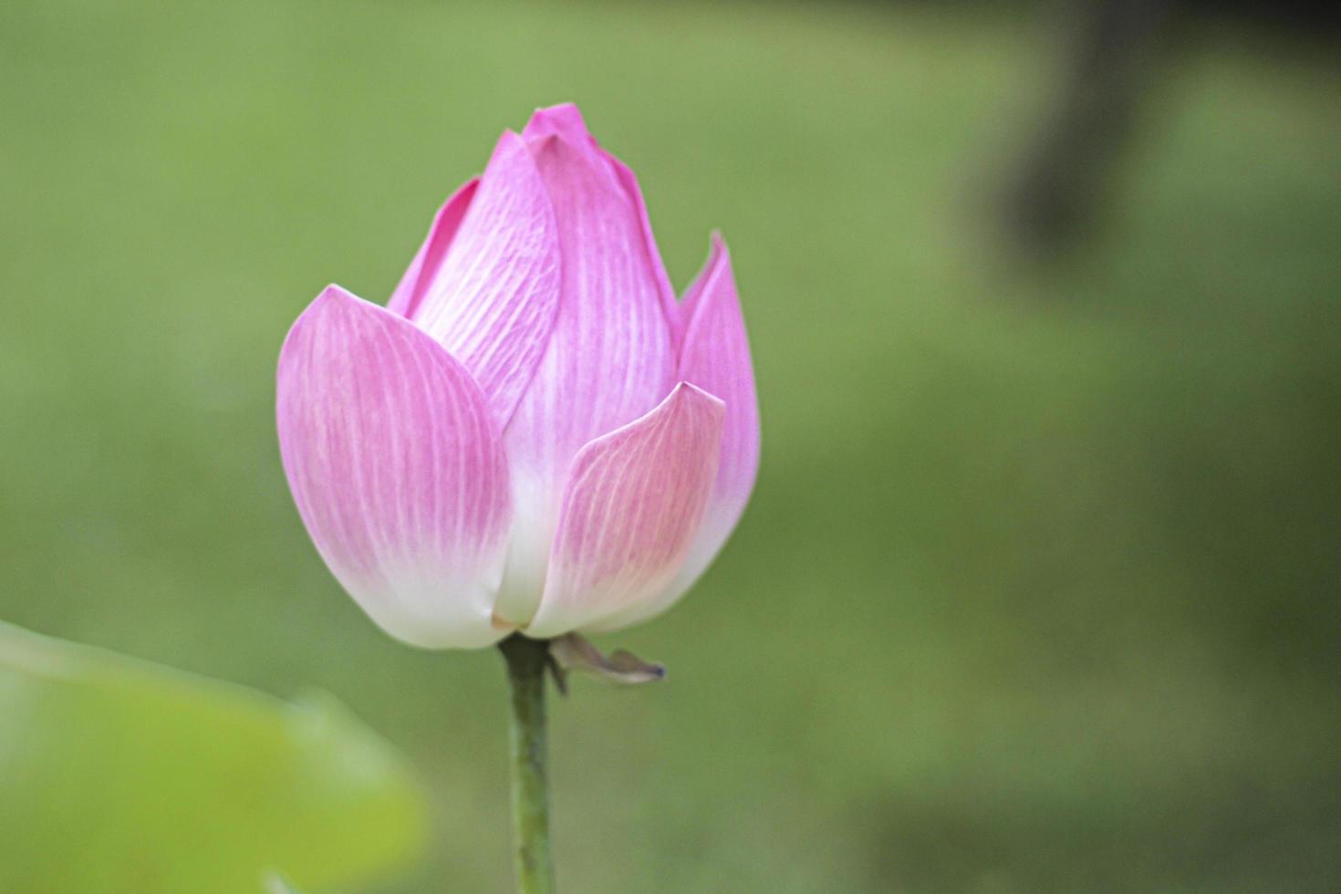 schöner rosa Lotus. Lotusa Schönheit für den Wassergarten Naturfotografie Blumen. Nahaufnahme der Lotusknospe mit grünem Hintergrund foto