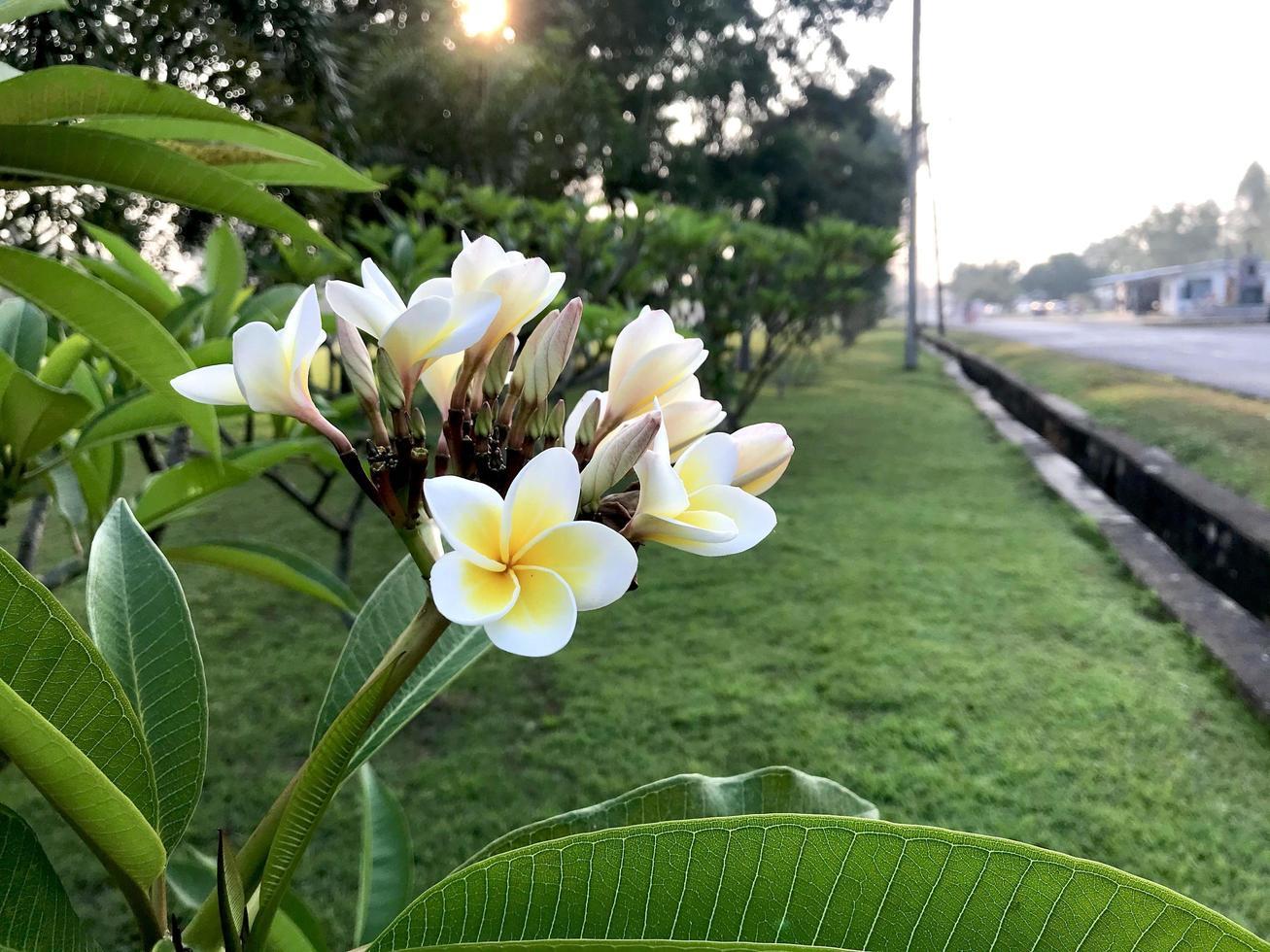 weiße und gelbe Blüten foto