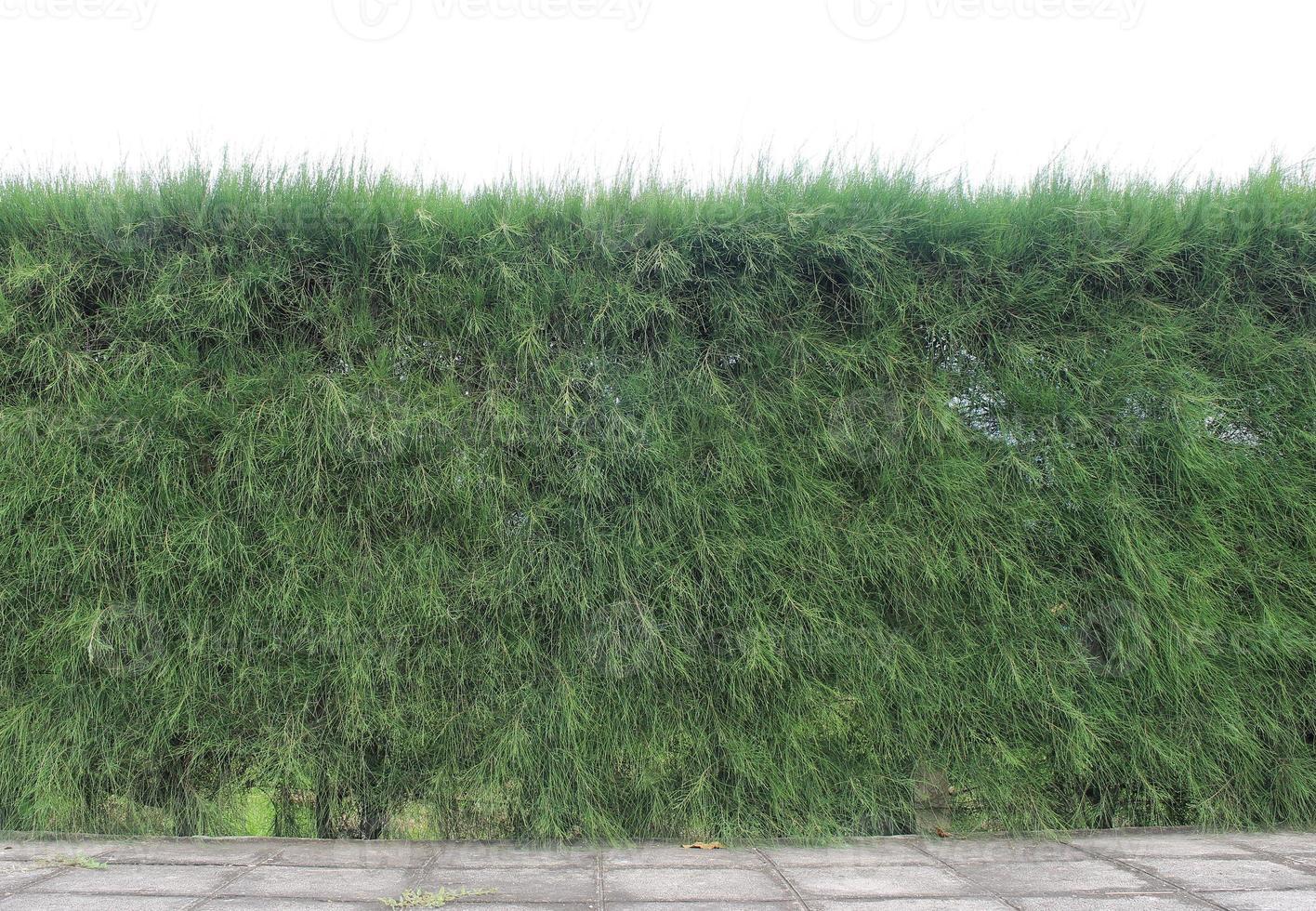 vertikaler Garten der Kiefernzweigwand foto
