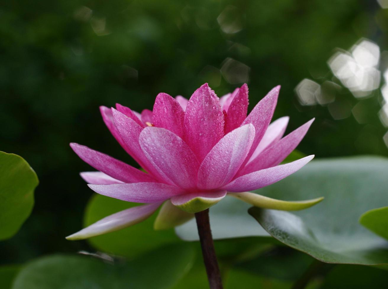 rosa Lotusblume draußen foto