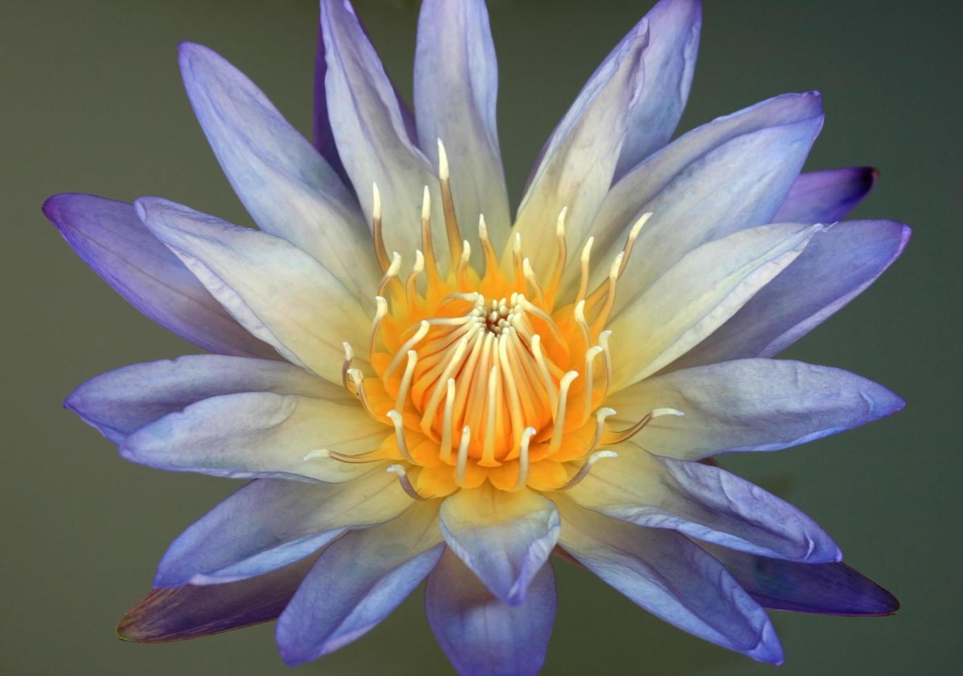 blauer Lotus auf Wasser foto