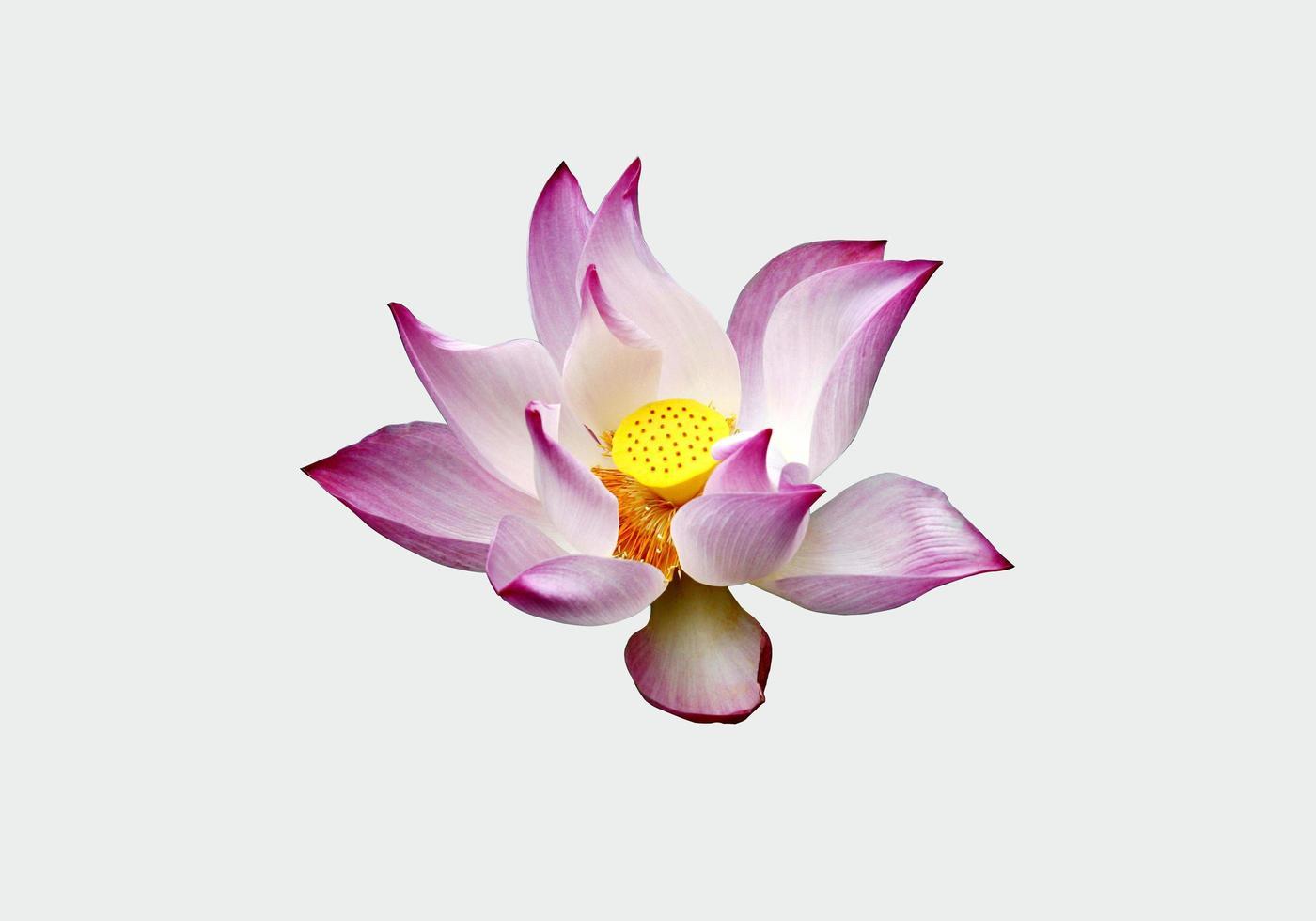 lila und weißer Lotus foto