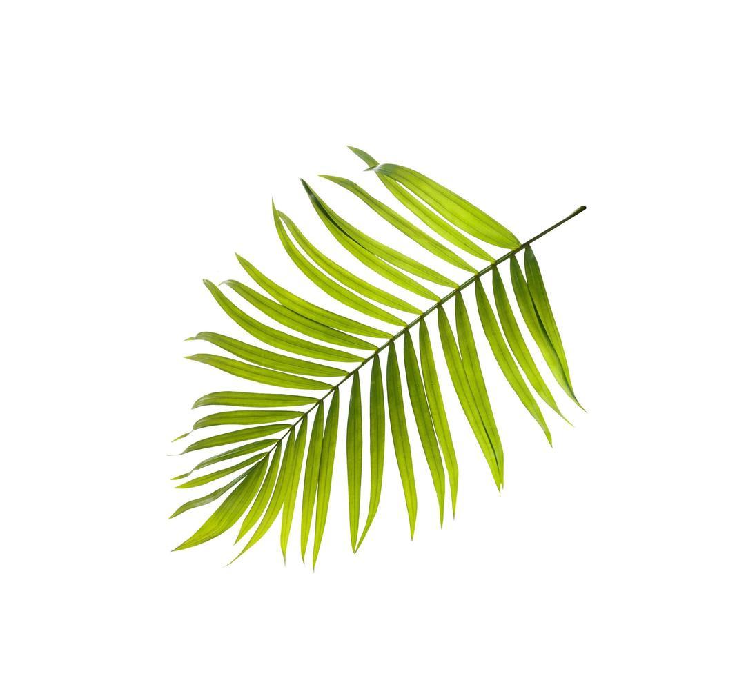 Draufsicht auf ein hellgrünes Palmblatt foto