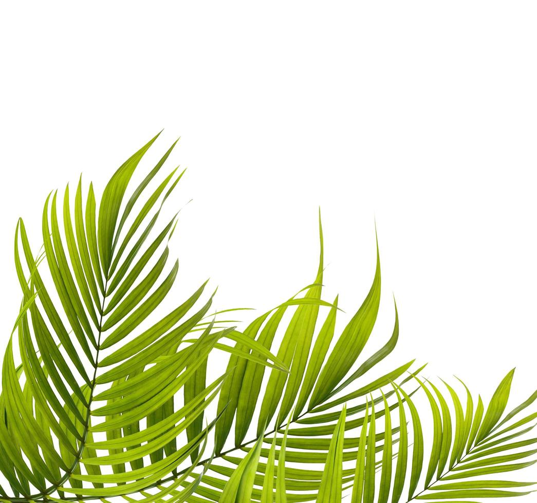 grüne Kokosnussbaumblätter foto