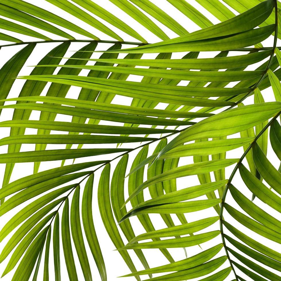 Nahaufnahme von Palmblättern auf weißem Hintergrund foto