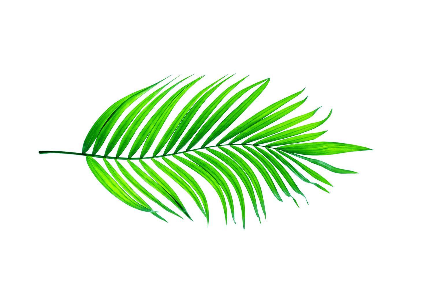 hellgrünes Palmblatt foto