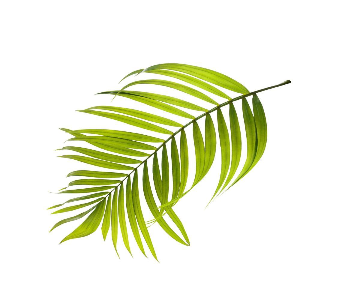hellgrünes Palmenblatt auf weißem Hintergrund foto