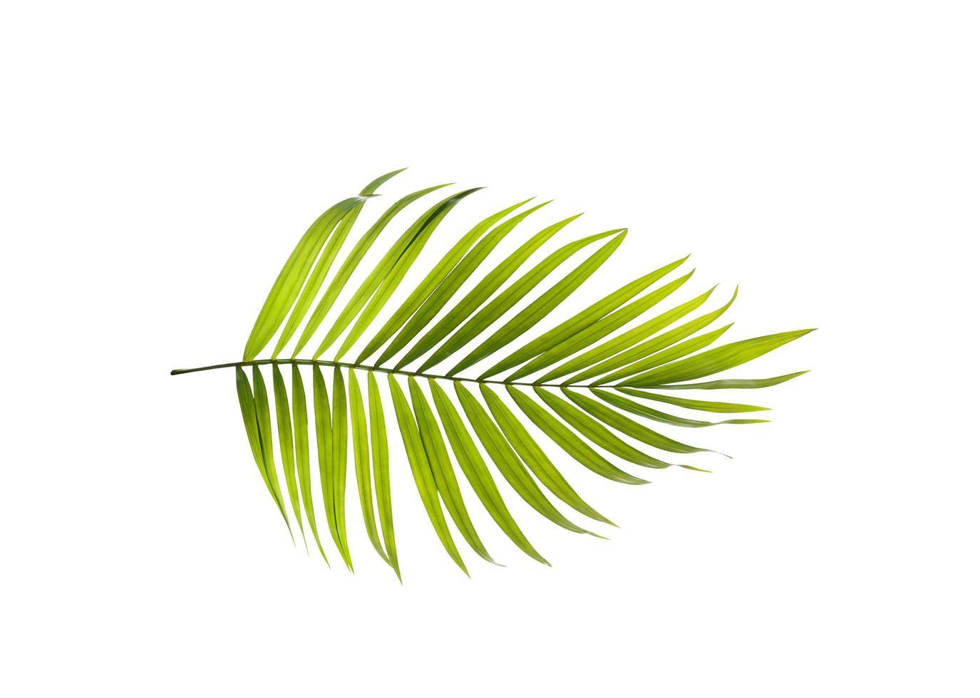 einzelnes hellgrünes Palmblatt foto