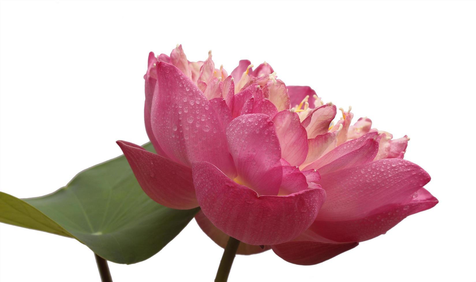 rosa Blume auf Weiß foto
