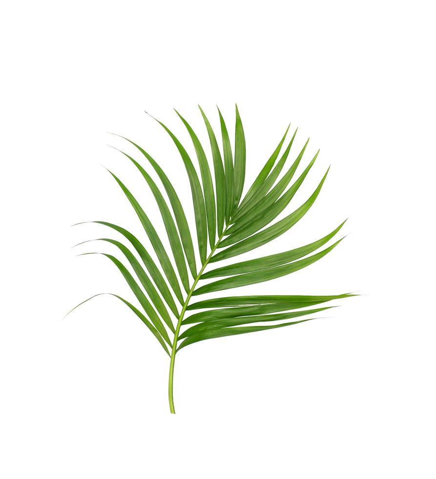 einzelner grüner Palmenzweig foto