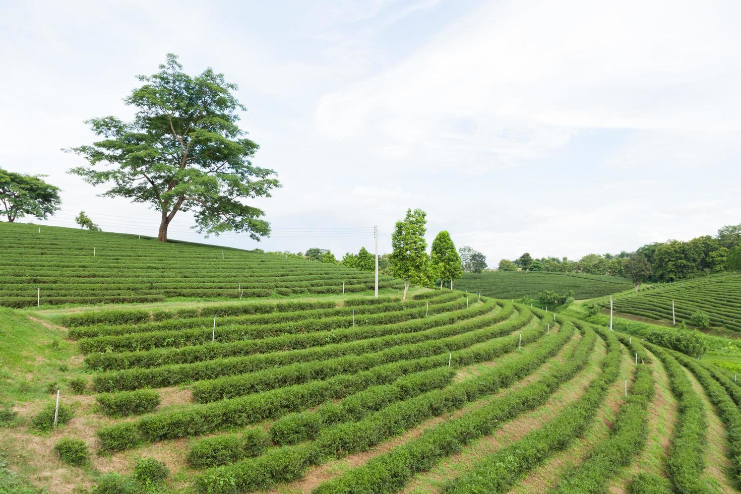 Teefarm in Thailand foto