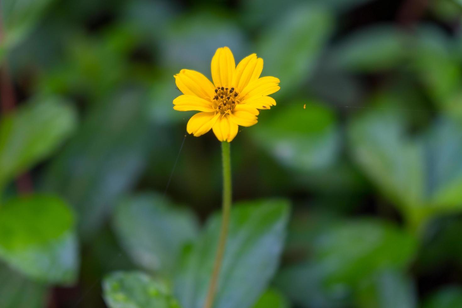 gelbe Gänseblümchenblume im Park foto
