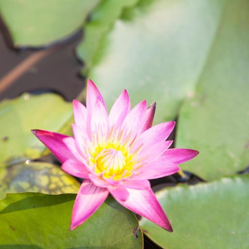 Lotusblüte im Teich foto
