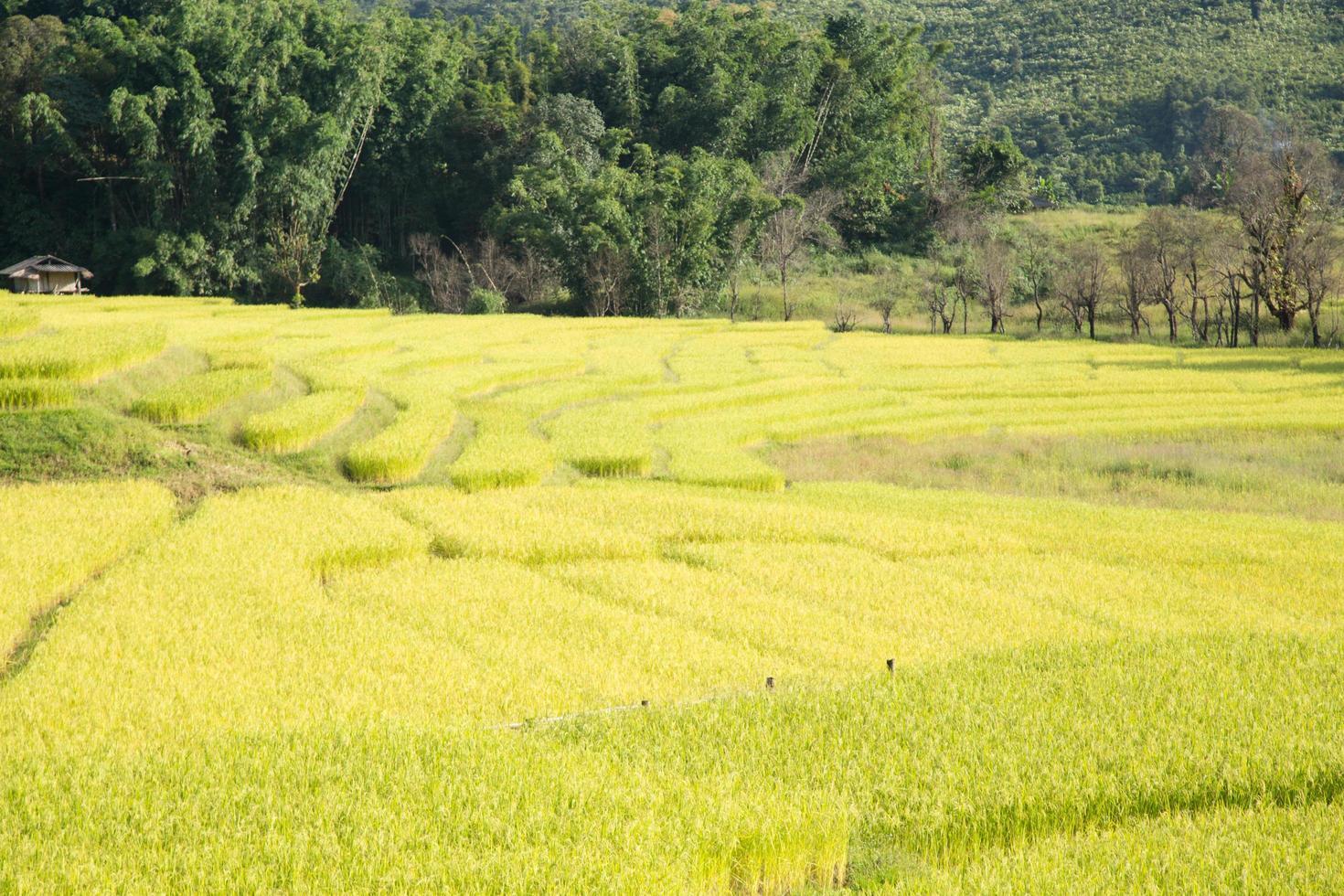 Reisfarm auf dem Berg in Thailand foto