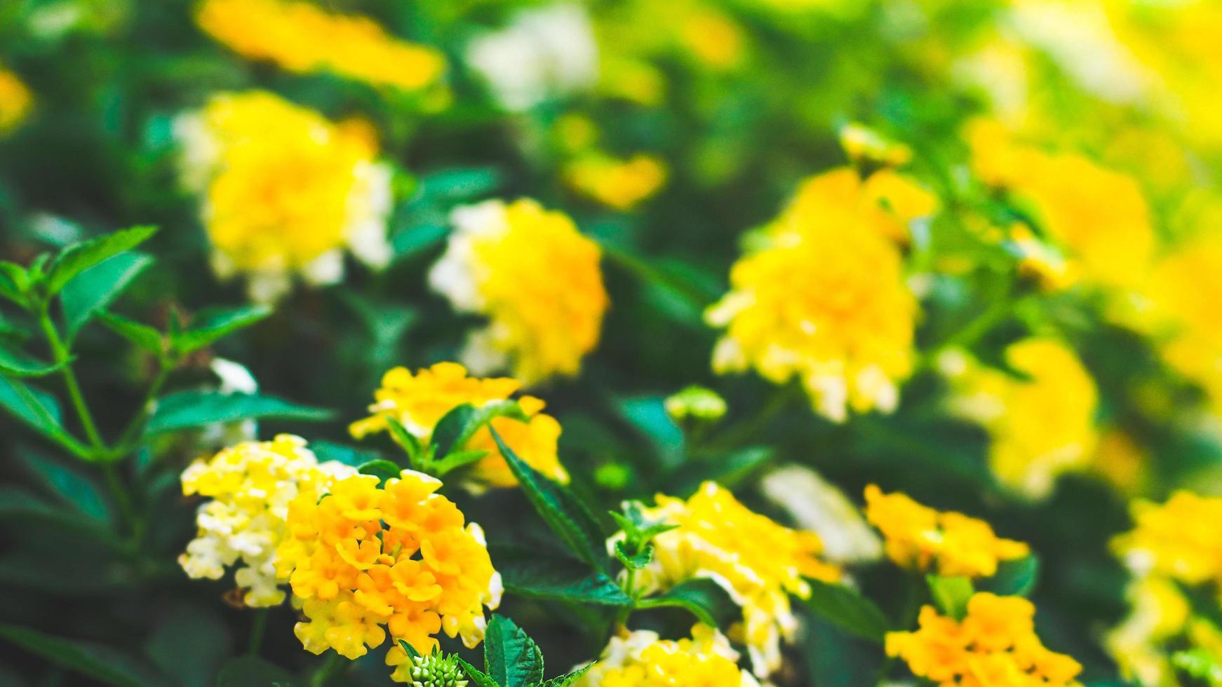 gelbe Blumen auf einem Busch foto