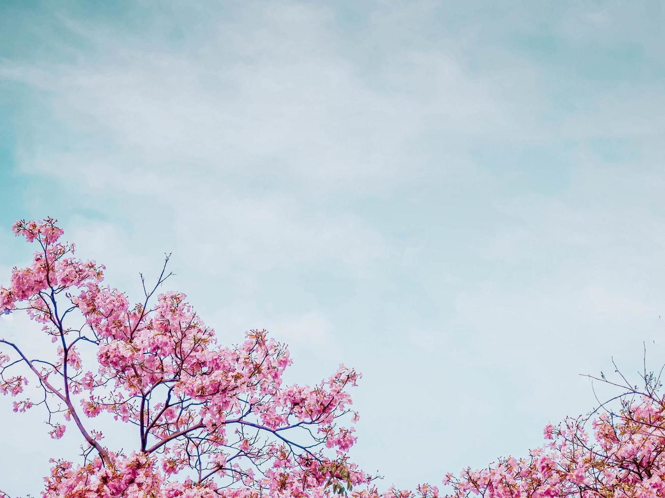 rosa tabebuia Blumenblüte gegen blauen Himmel foto