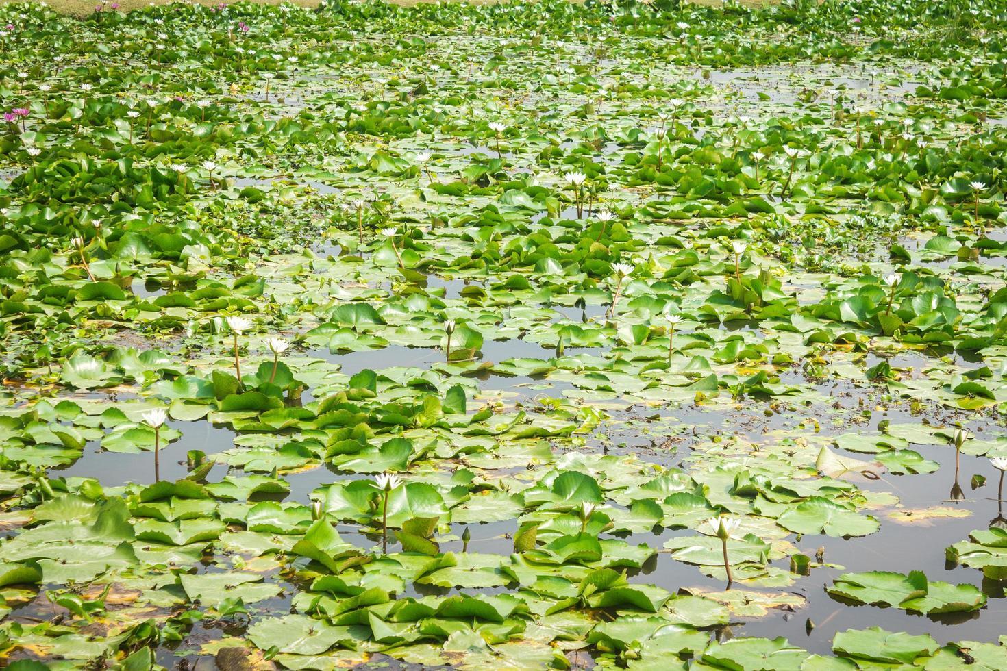 Teich mit Seerosen gefüllt foto