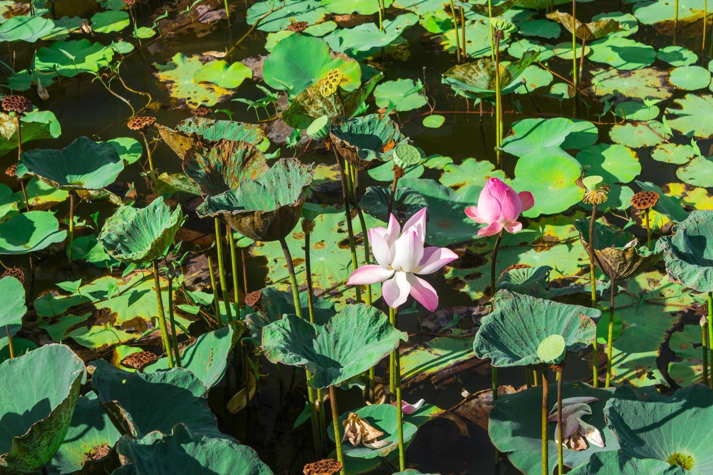 Teich gefüllt mit Seerosen oder Lotus foto