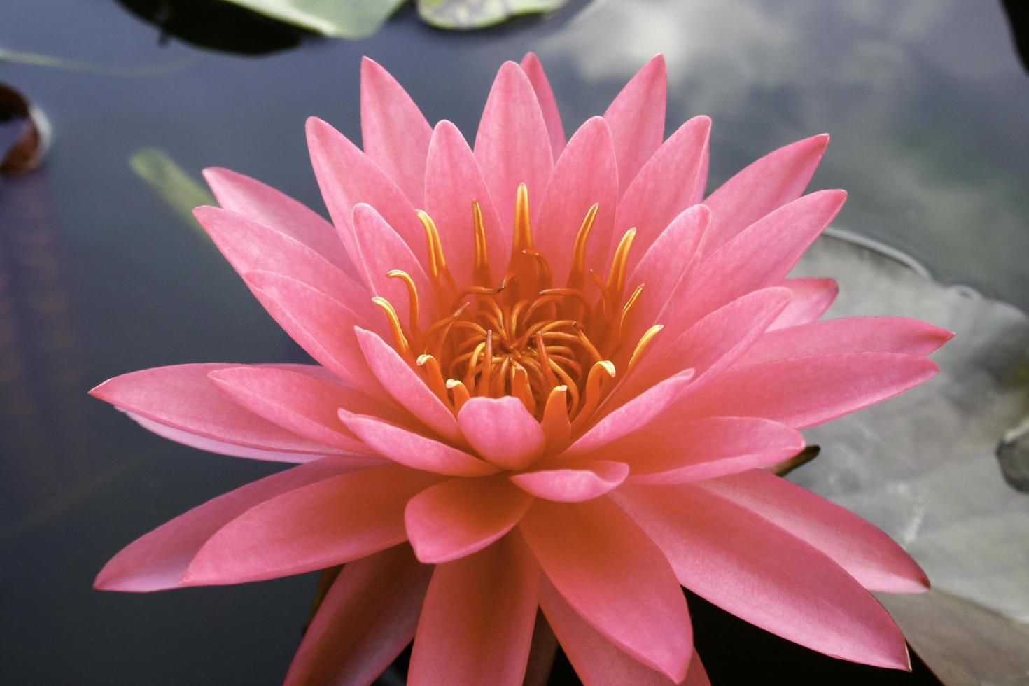 rosa Lotusblume im Wasser foto