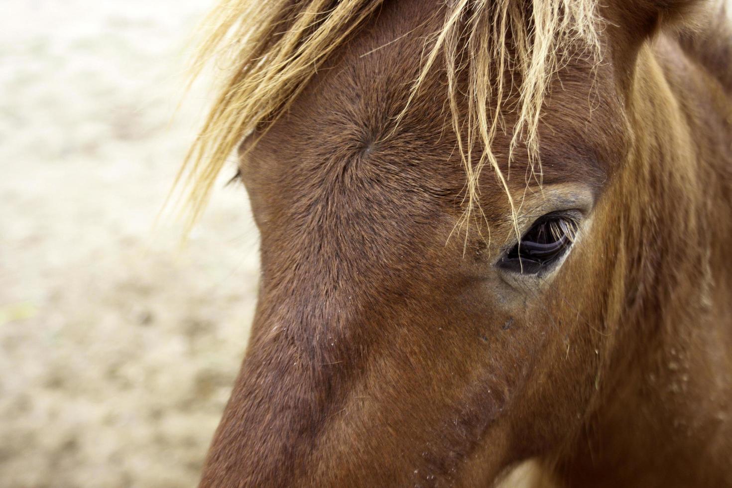 Nahaufnahme des braunen Pferdes foto