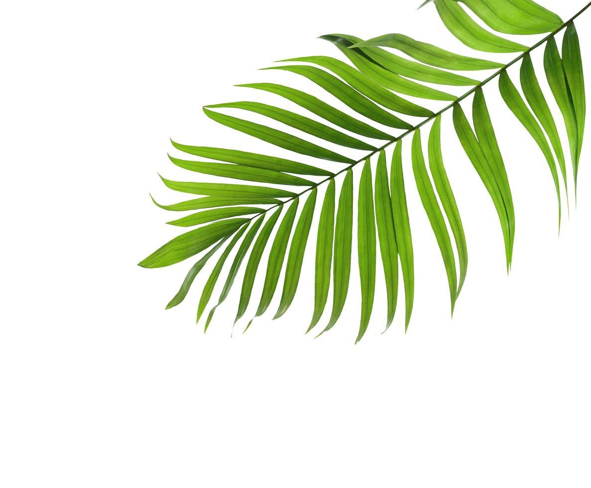 grünes Kokosnussblatt mit Kopierraum foto