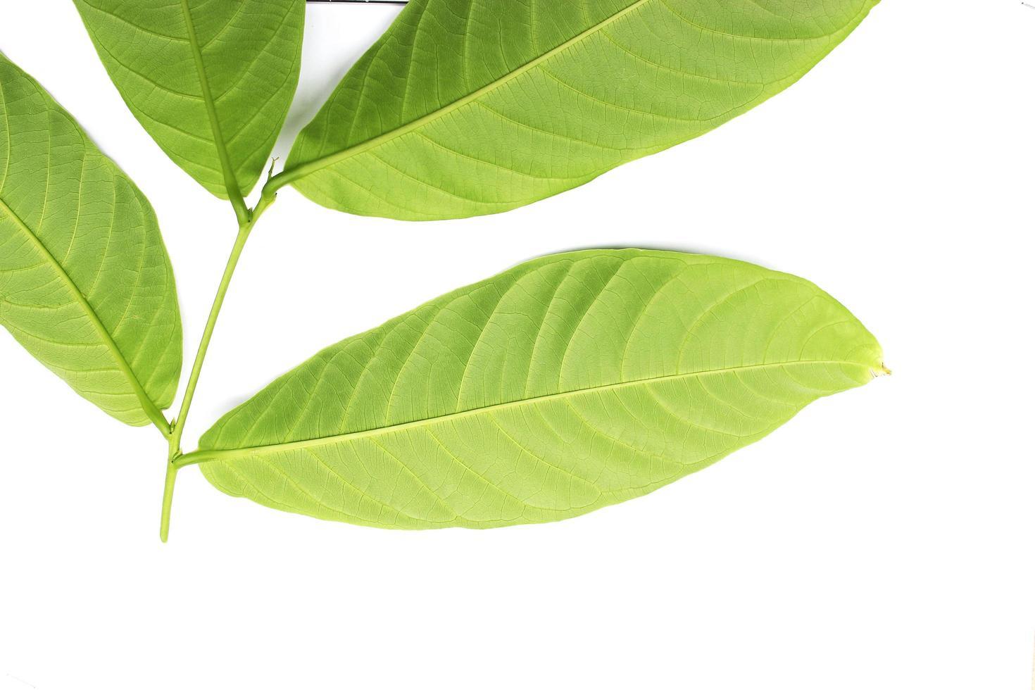 Nahaufnahme von grünen Blättern auf weißem Hintergrund foto