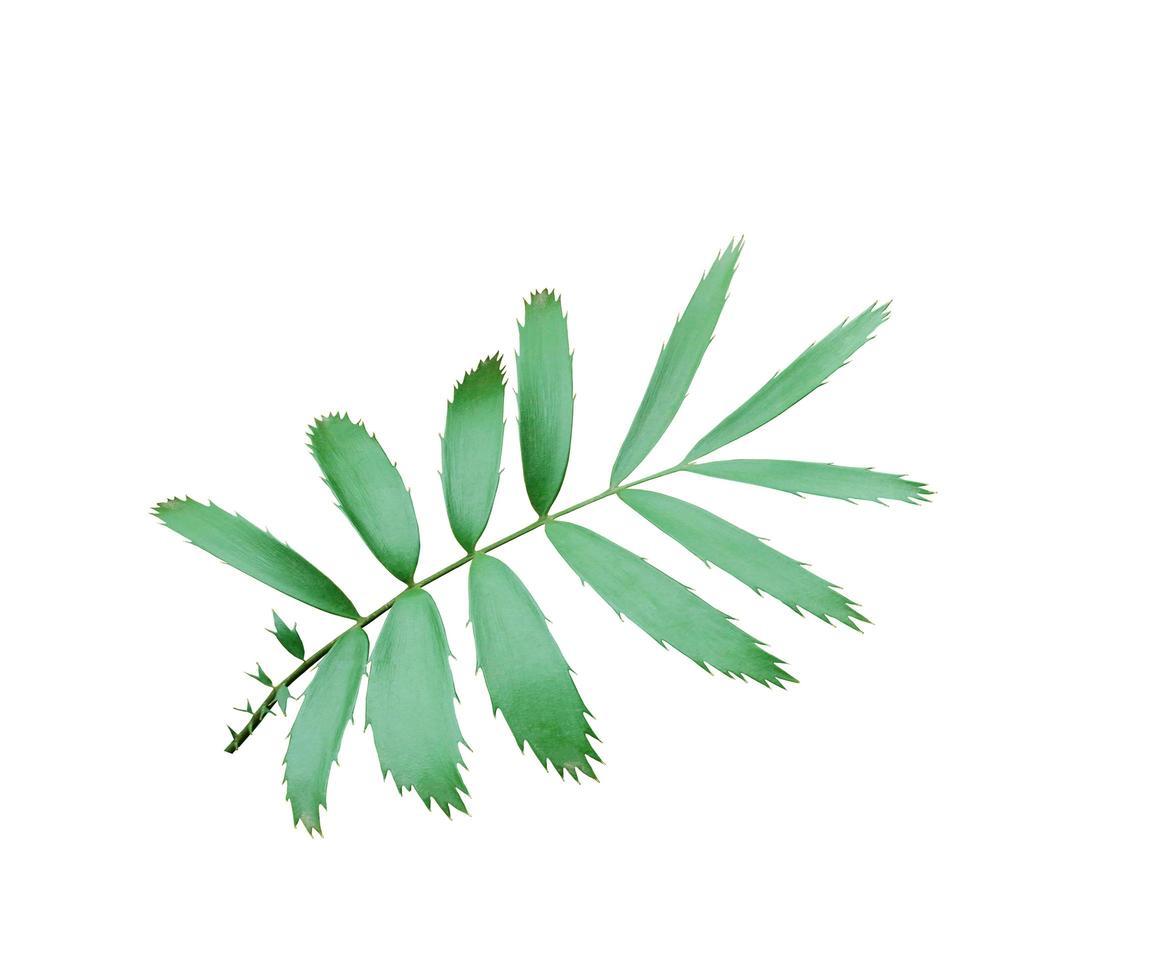 grüne Blätter isoliert auf weiß foto