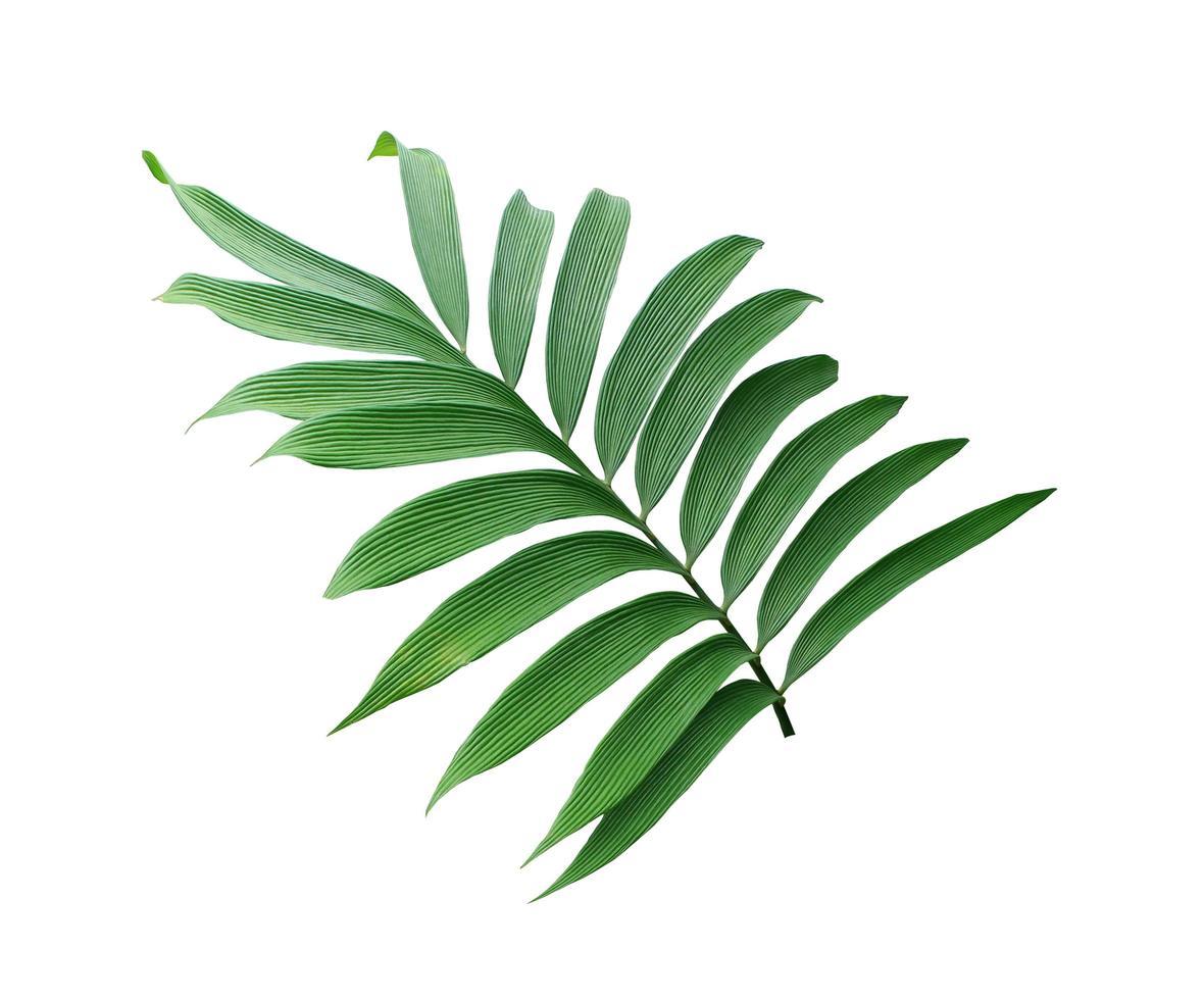 üppige Palmblätter auf einem Ast foto