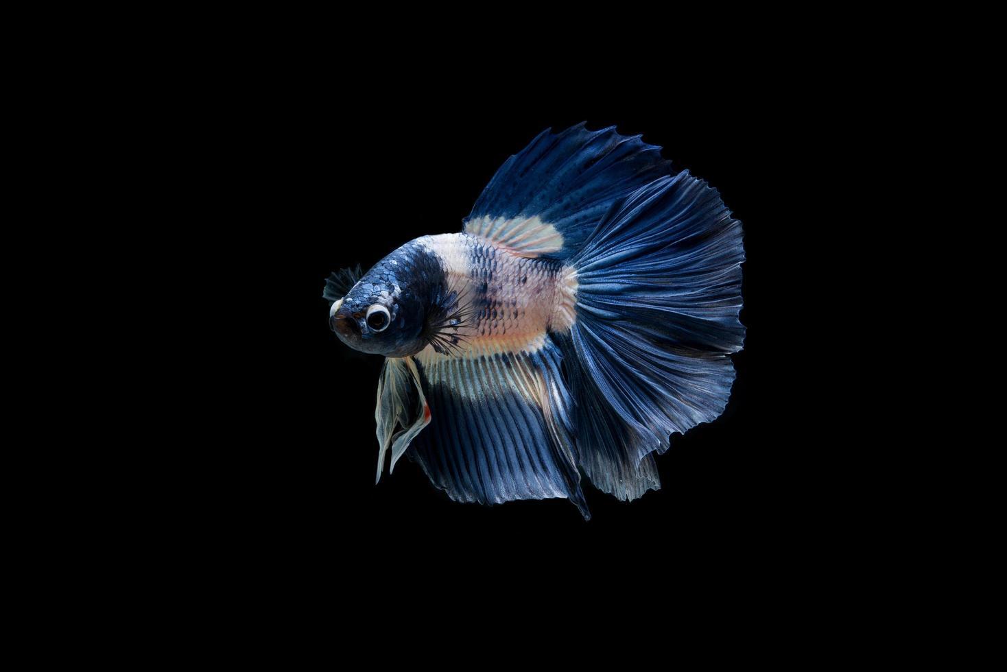 schöne bunte siamesische Betta Fisch foto