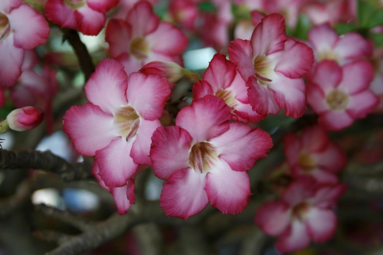 rosa Azaleenblüten draußen foto