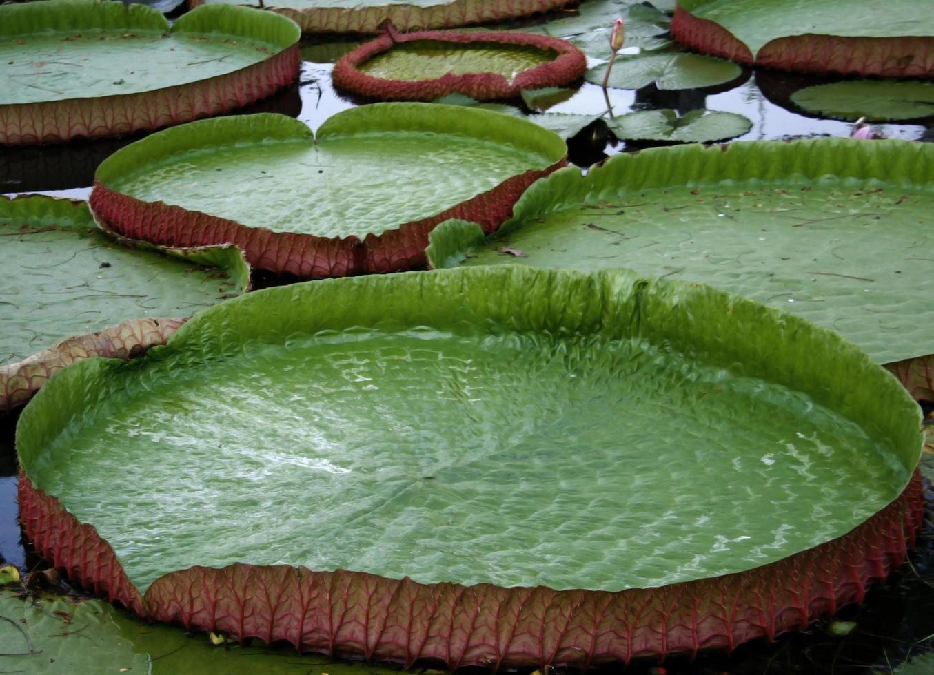 grüne Seerosenblätter foto