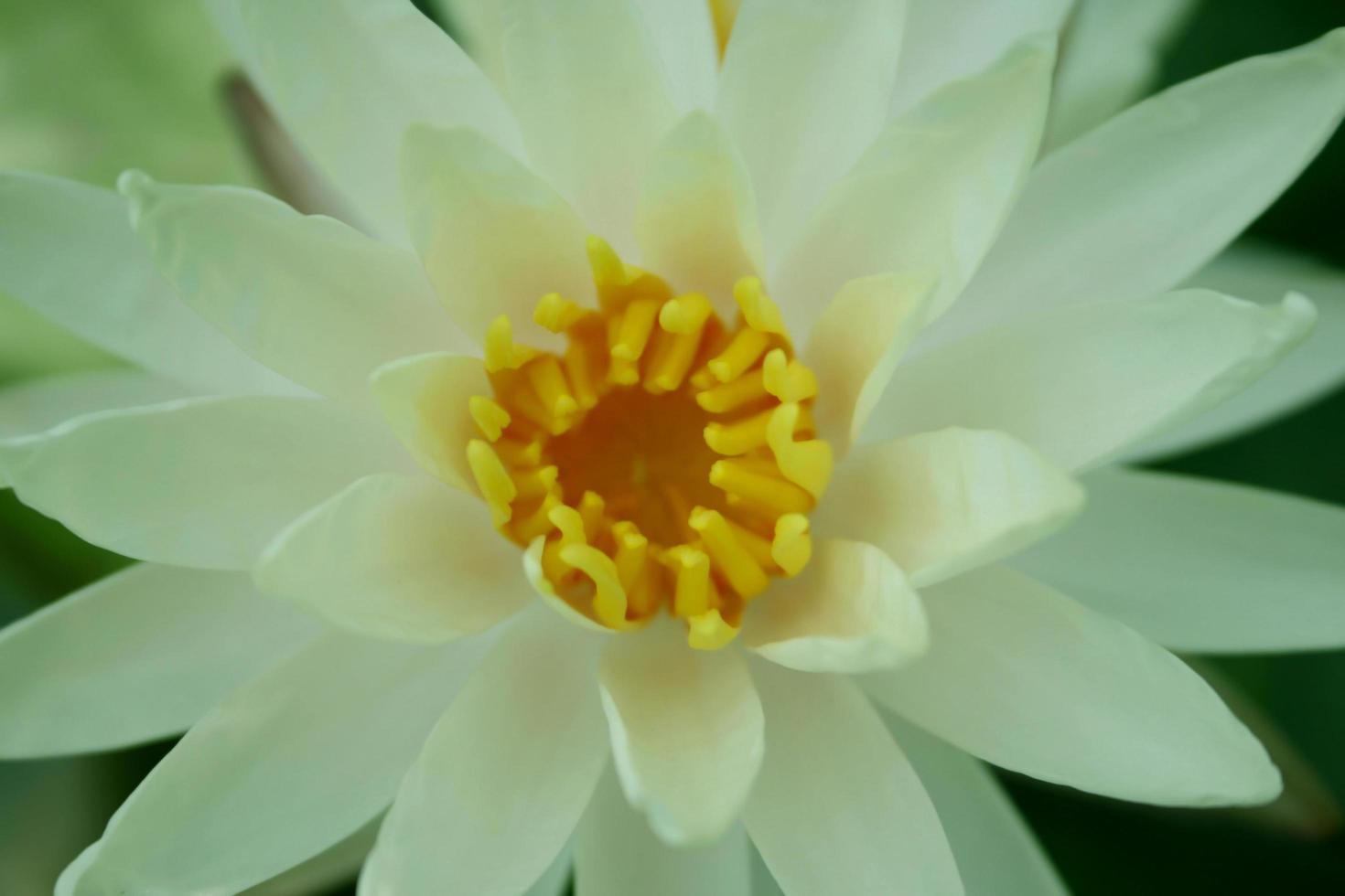 Draufsicht einer Lotusblume foto